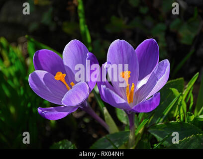 Crocus sativus. - Stock Image
