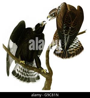 Rough-legged Hawk, Buteo lagopus, birds, 1827 - 1838 - Stock Image