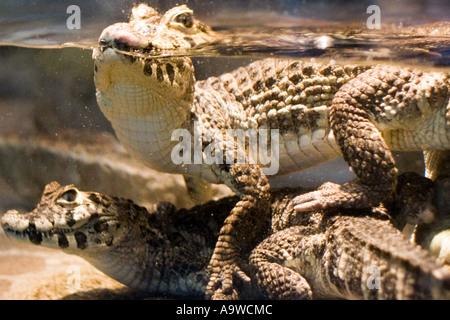 Two baby crocodiles - Stock Image