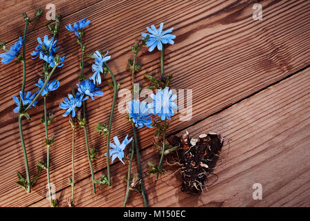 Background with flowers of chicory and root on the old wooden boards. Place for text. Top view. Medicinal plant: - Stock Image
