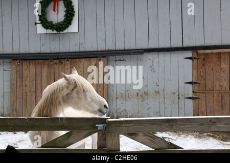 White horse standing at a fence, Clarion, PA, USA - Stock Image