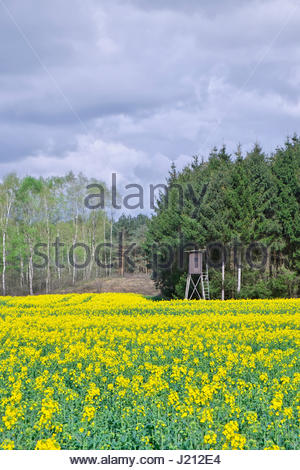 A Schiessstand (shooting stand for hunting) is beside a field of Raps, or rape seed, at the edge of a forest in - Stock Image