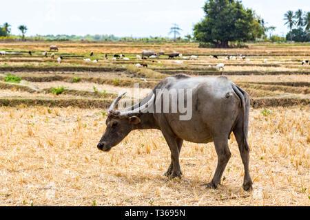 Animal stock in Southeast Asia. Zebu, buffalo or cow. Cattle on a field. Village life in rural East Timor - Timor-Leste, near Baucau, Vemasse, Caicua. - Stock Image