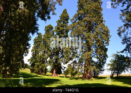 Giant Redwoods at Compton Verney House, Compton Verney, Kineton, Warwickshire, England, UK. 18th century Country Mansion and Art Gallery - Stock Image