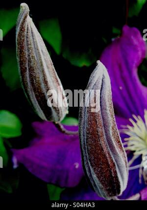 Clematis Buds - Stock Image