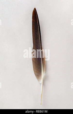 Brown feather isolated on a white background - Stock Image