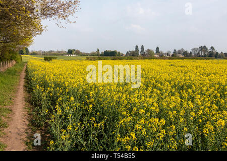 view across a field full or rapeseed in bloom, - Stock Image