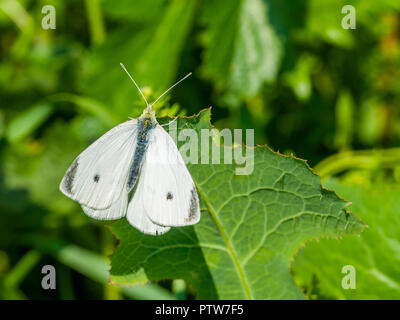 Small White butterfly - France. - Stock Image