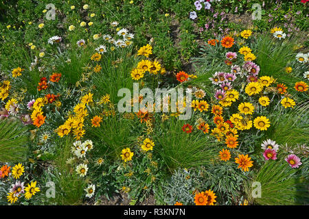 Close up of a flower border with the colouful flowering Gazania 'Frosty Mixed' - Stock Image