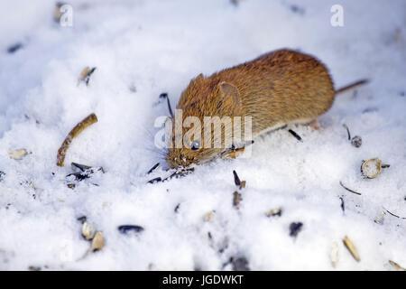Roetelmaus, Myodes glareolus, Roetelmaus (Myodes glareolus) - Stock Image