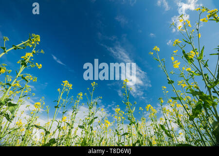 The stalks of flowering rapeseed stretch to the deep blue of the sky. Bottom view - Stock Image