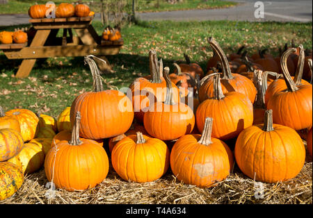 Display of colourful pumpkins at a farm stand in the Niagara Peninsula in the Autumn. - Stock Image