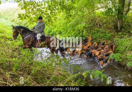 Cranwell Bloodhounds - Hound Exercise and Summer Ride with The Master crossing a brook with  the hounds following - Stock Image