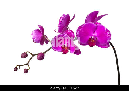 Stem of purple orchids isolated on white background - Stock Image