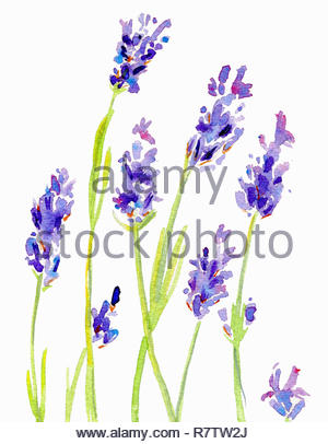 Watercolor painting of lavender - Stock Image