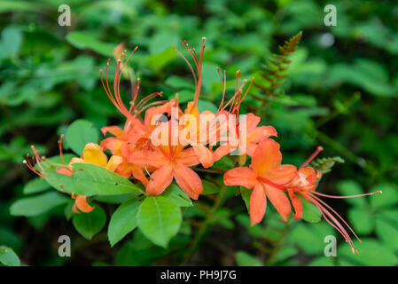 Orange Flame Azalea Bloom in Tennessee Mountains - Stock Image