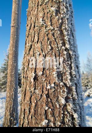 Pine ( pinus sylvestris ) tree stem and bark , Finland - Stock Image