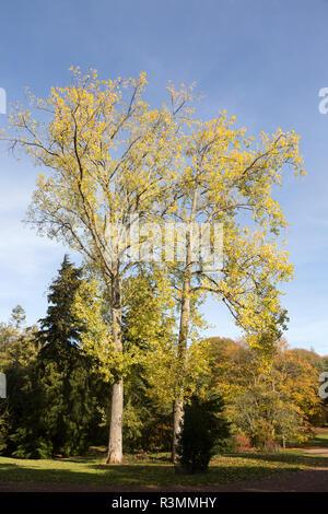 Black poplar tree, populous nigra, National arboretum, Westonbirt arboretum, Gloucestershire, England, UK - Stock Image