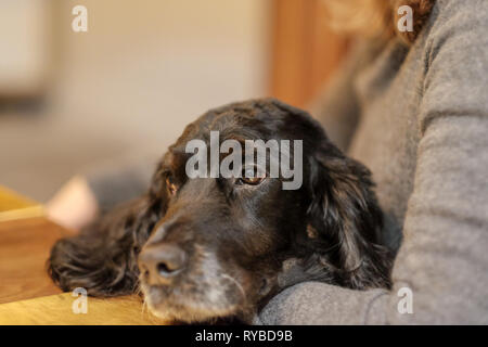 A black cocker spaniel dog looks up mournfully with big eyes from the lap of a woman - Stock Image