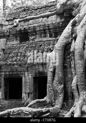 Silk-cotton tree roots on the NW side of Gopura III, Ta Prohm Temple, Angkor, Cambodia - Stock Image