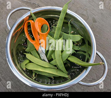 A stainless steel colander containing freshly cut / picked home-grown green runner beans with the scissors used to harvest them, UK - Stock Image