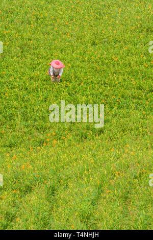 Farmer picks edible orange daylily (Hemerocallis sp.) aka golden needles flowers bud during harvesting season, Chikeshang, Yuli, Hualien, Taiwan - Stock Image