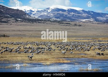 Sandhill cranes feed on the grasslands in front of a mountain at the Monte Vista National Wildlife Refuge March - Stock Image
