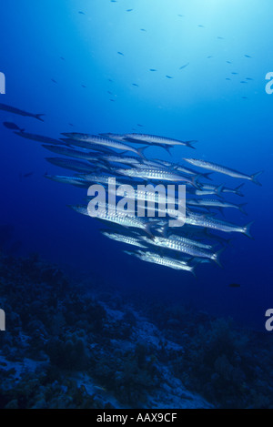 Schooling barracuda in the Red Sea - Stock Image