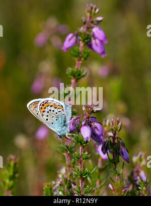 Silver-studded Blue male nectaring on Bell Heather. Fairmile Common, Esher, Surrey, England. - Stock Image