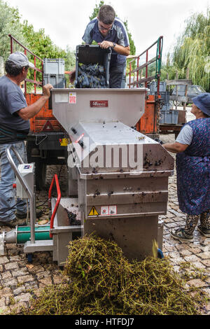 Workers putting the grapes through a machine to separate the juice from the vine. Working at the Sea Campo Adega - Stock Image