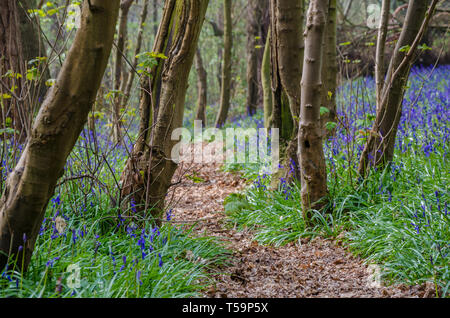 A path leading through bluebell woods in the Shropshire countryside at Chemshill Coppice near the village or Worfield in Shropshire, UK - Stock Image