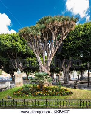 Dragon tree (Dracaena draco) in Plaza del Adelantado (Governor's Square), La Laguna, Tenerife, Canary Islands - Stock Image
