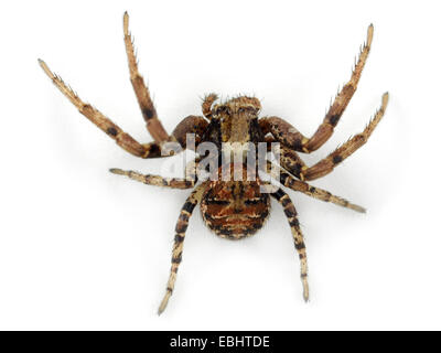 A female Crab spider (Xysticus audax) on white background. Family Thomisidae, Crab spiders. - Stock Image
