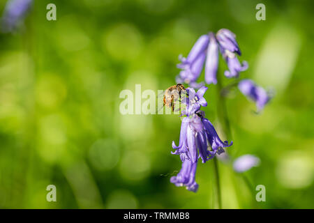 Mimic bee collection nectar pollen from wild bluebells - Stock Image
