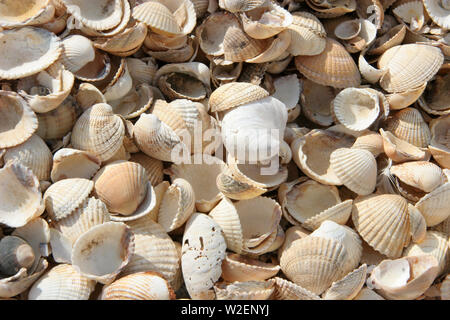 cockle shells in close-up detail. - Stock Image