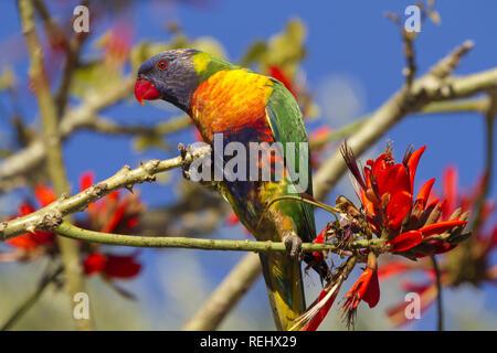 Brilliantly colored rainbow lorikeet parrot in Western Australia - Stock Image