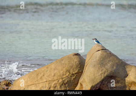 A lone white collar kingfisher perched on a large shore side rock and a sea crab sat a top another rock. - Stock Image