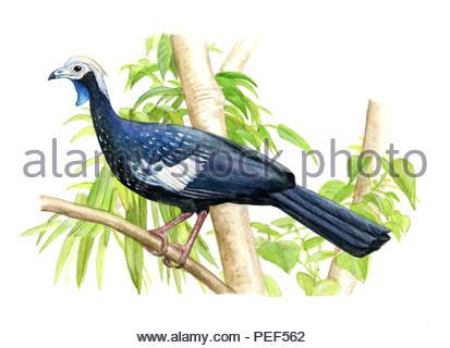 blue-throated goose pipile cumanensis - Stock Image