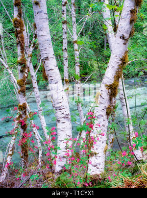 Alder trees and red current (Ribies sanguinium) along banks of Quartzville Creek National Wild and Scenic River, Oregon - Stock Image