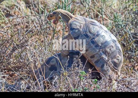 Turtles mates - Stock Image