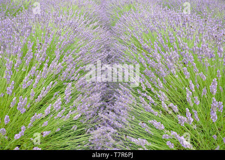 The striking blue lavender in parallel rows attracts masses of bees on the Mendip Hills  at Faulkland,Somerset,UK - Stock Image