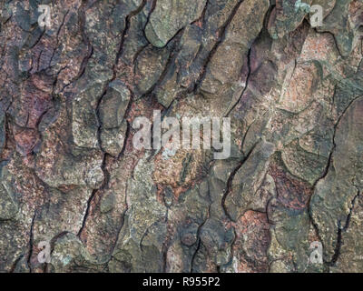Close detail of the autumnal bark (after rain shower) of a Horse-Chestnut / Aesculus hippocastanum tree trunk. - Stock Image
