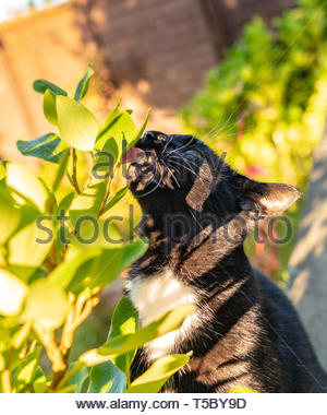 Unusual cat behavior - licking dew drops off a leaf - Stock Image
