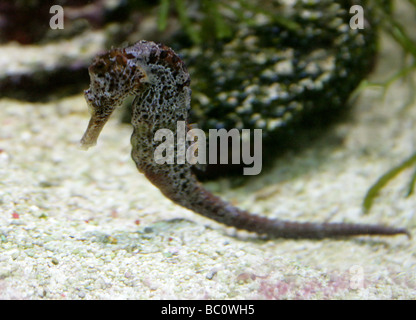 Longsnout or Slender Seahorse, Hippocampus reidi, Syngnathidae - Stock Image