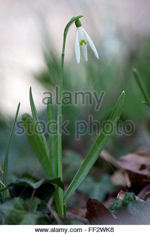 snowdrop - Galanthus nivalis - Stock Image