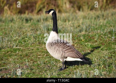 A Canada Goose (Branta canadensis) standing in a water meadow close to the River Arun in Southern England - Stock Image