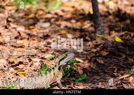 Australian Male Water Dragon surprised out of the water basking in the sun light, Intellagama lesueurii, formerly - Stock Image