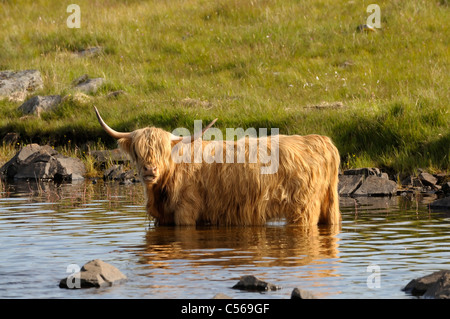 Highland cow cooling down in loch with a shocked expression - Stock Image