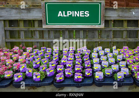 Alpine plants for sale in a garden centre in spring - Stock Image