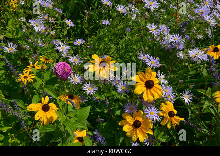 Flower border with Rudbeckia hirta Black Eyed Susan and Aster amellus in a country garden - Stock Image